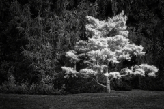 Inniswood Bright Pine