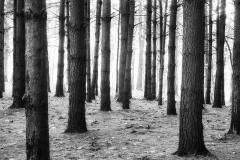 Morning Pines