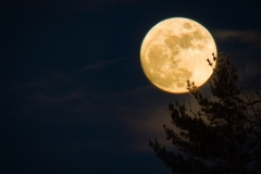 Cold Full Moon Pine