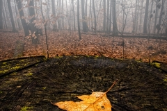 Stump Leaf Fog
