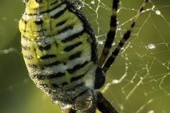 Dewy Garden Spider