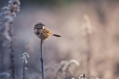 Song Sparrow Sunset