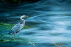 Stoic Heron