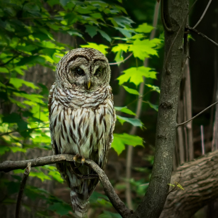 Barred Owl Inniswood  ISO:100 - f/1.4/ - 50mm - 1/80 s